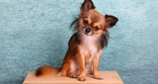 Chihuahua – charakterystyka i opis rasy