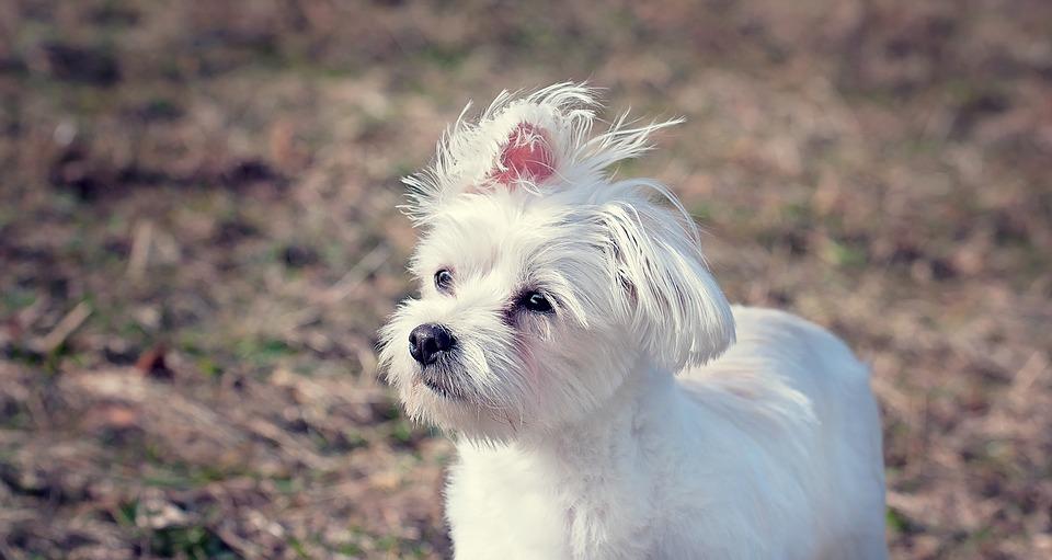 Najpopularniejsze rasy psów w Polsce - maltańczyk