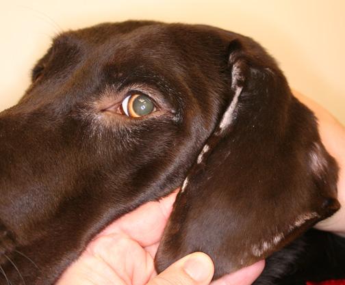 świerzb u psa objawy