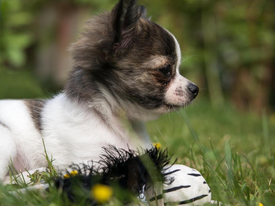 spis ras psów fci - grupa 9