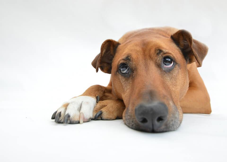 anemia u psa - objawy