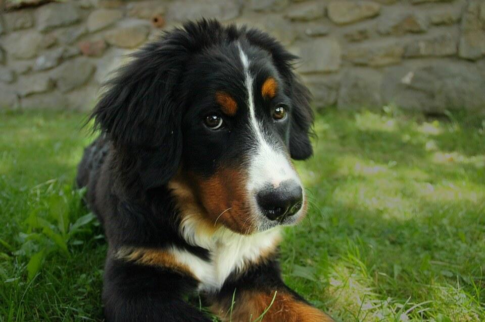 Najpopularniejsze rasy psów w Polsce - berneński pies pasterski