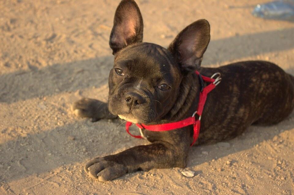 Najpopularniejsze rasy psów w Polsce - buldog francuski