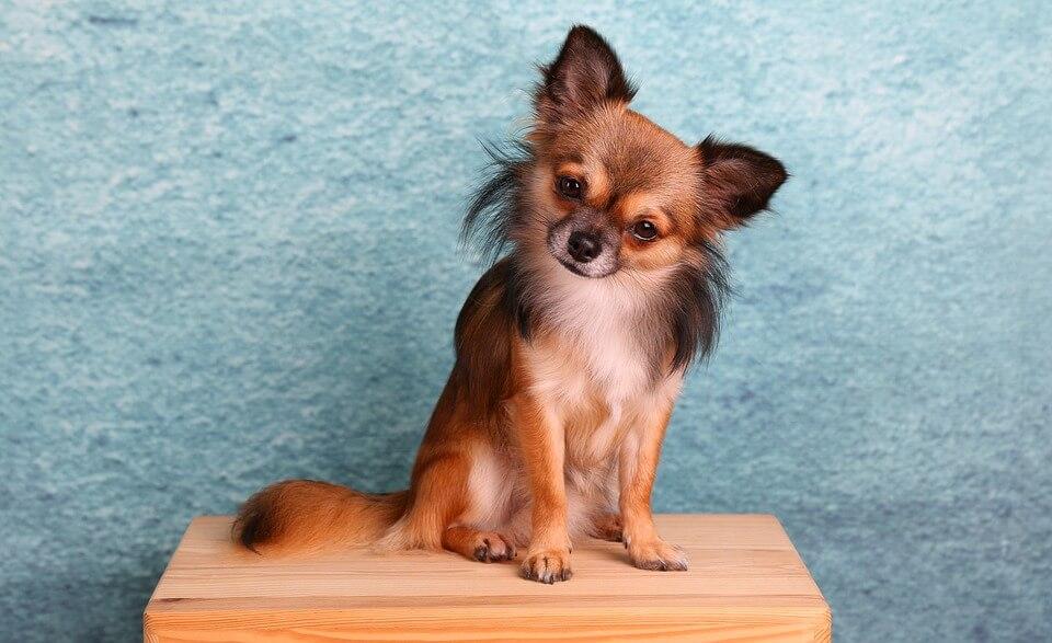 najmniejsze rasy psów - chihuahua