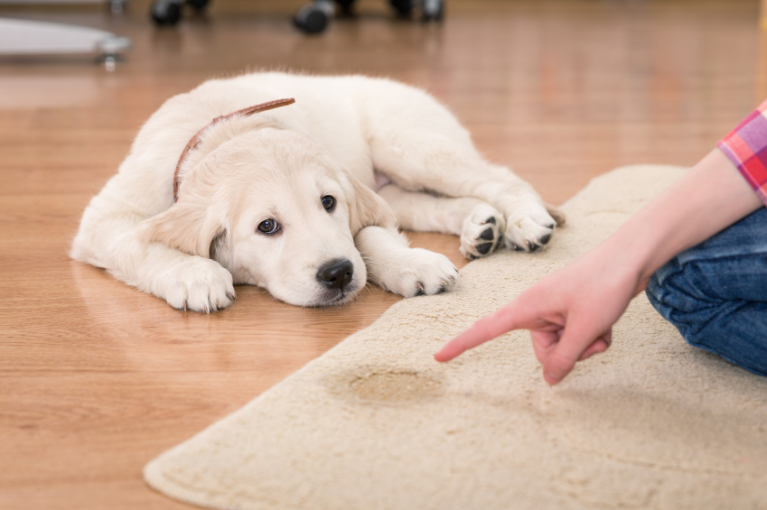 jak nauczyć psa sikania na matę