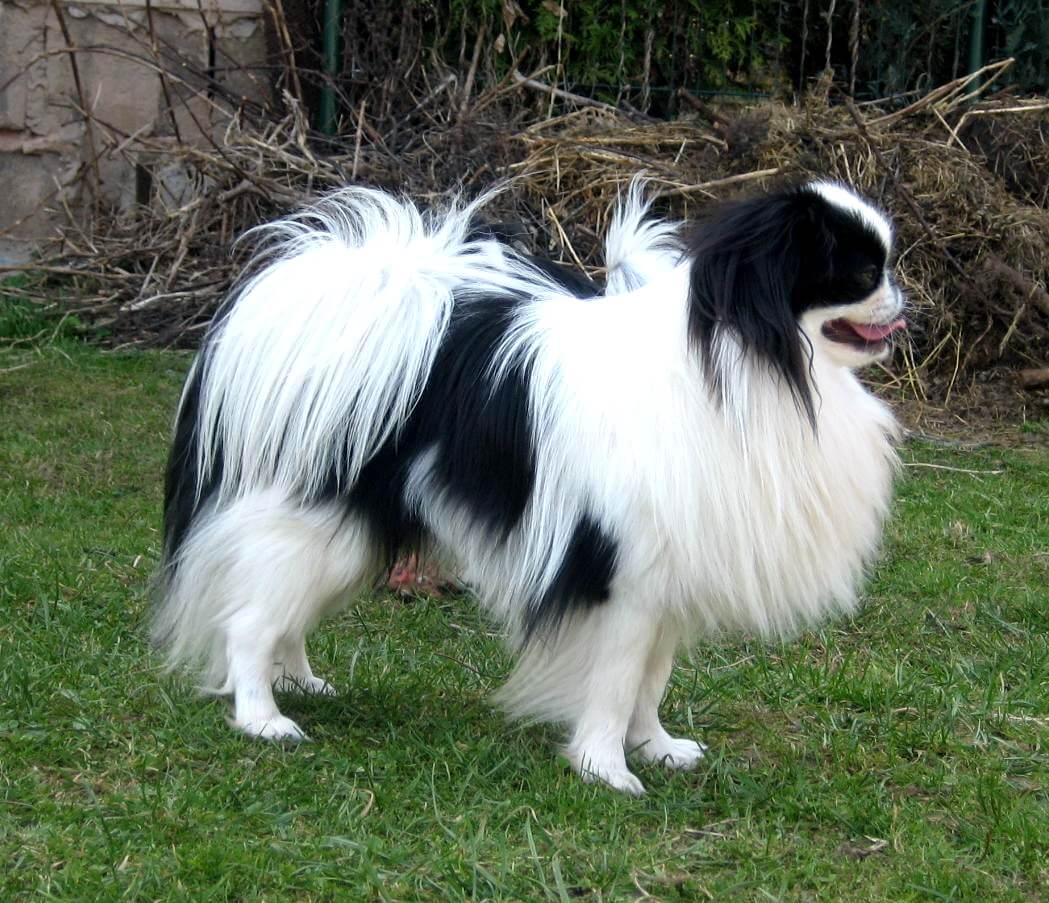 najmniejsze rasy psów - japoński chin