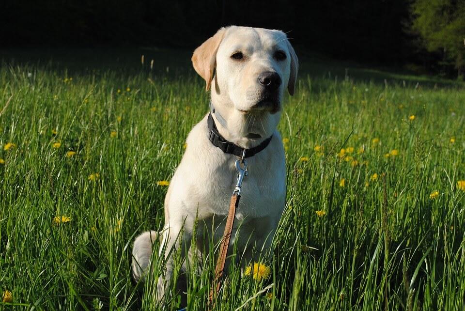 Najpopularniejsze rasy psów w Polsce - Labrador Retriever