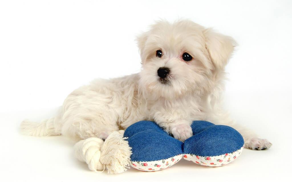 najmniejsze rasy psów - maltańczyk