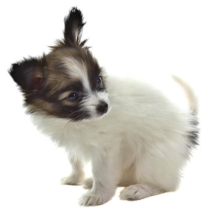 najmniejsze rasy psów - papillon