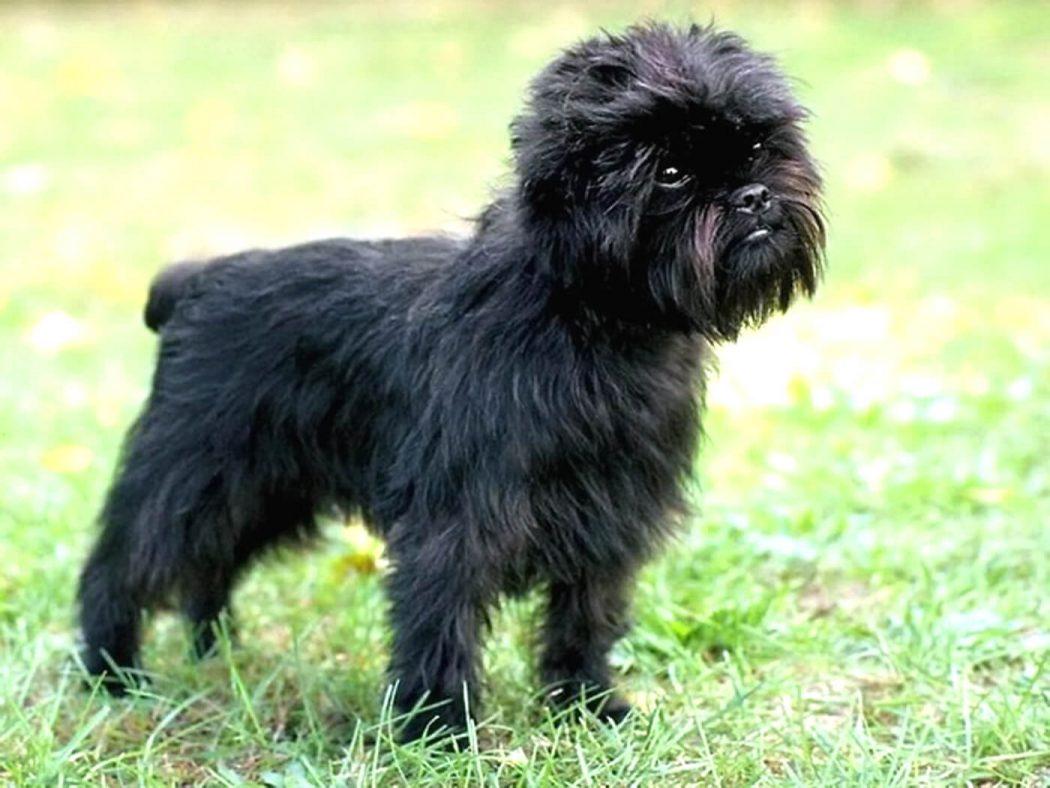 najmniejsze rasy psów - pinczer małpi
