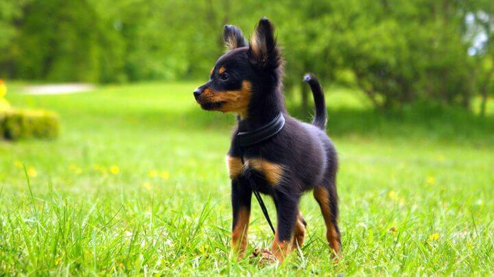 najmniejsze rasy psów - rosyjski toy