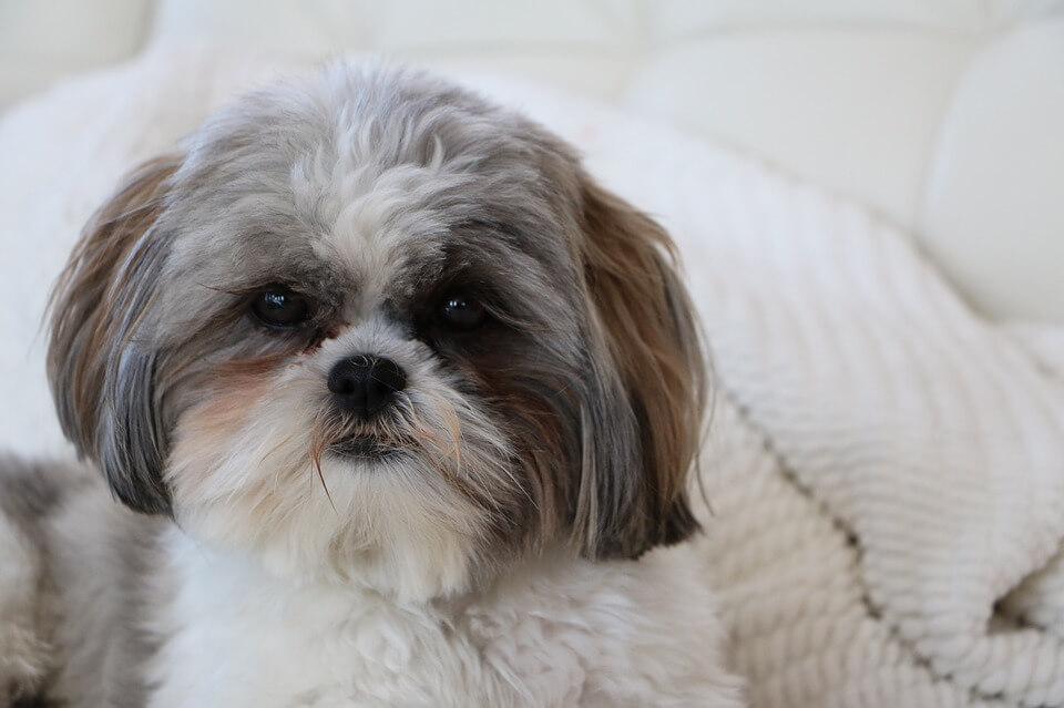 Najpopularniejsze rasy psów w Polsce - Shih-tzu