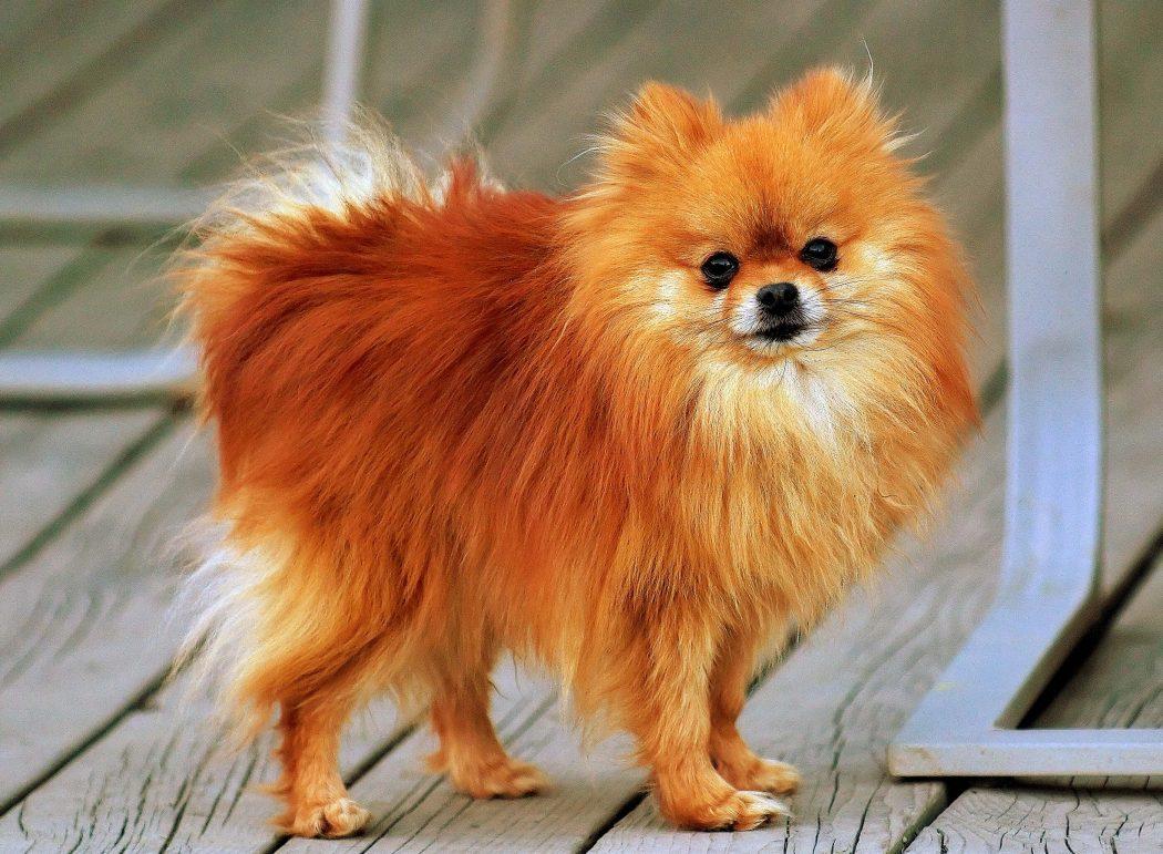 najmniejsze rasy psów - szpic miniaturowy