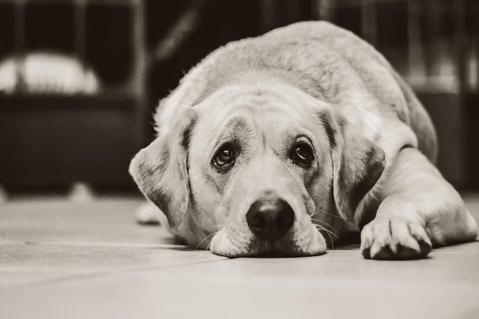 tasiemiec psi - objawy