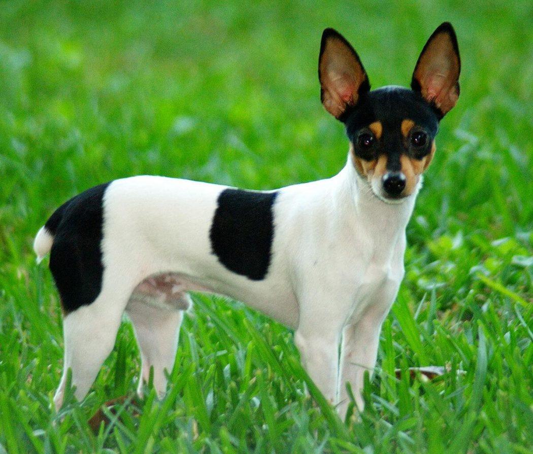 najmniejsze rasy psów - toy fox terrier
