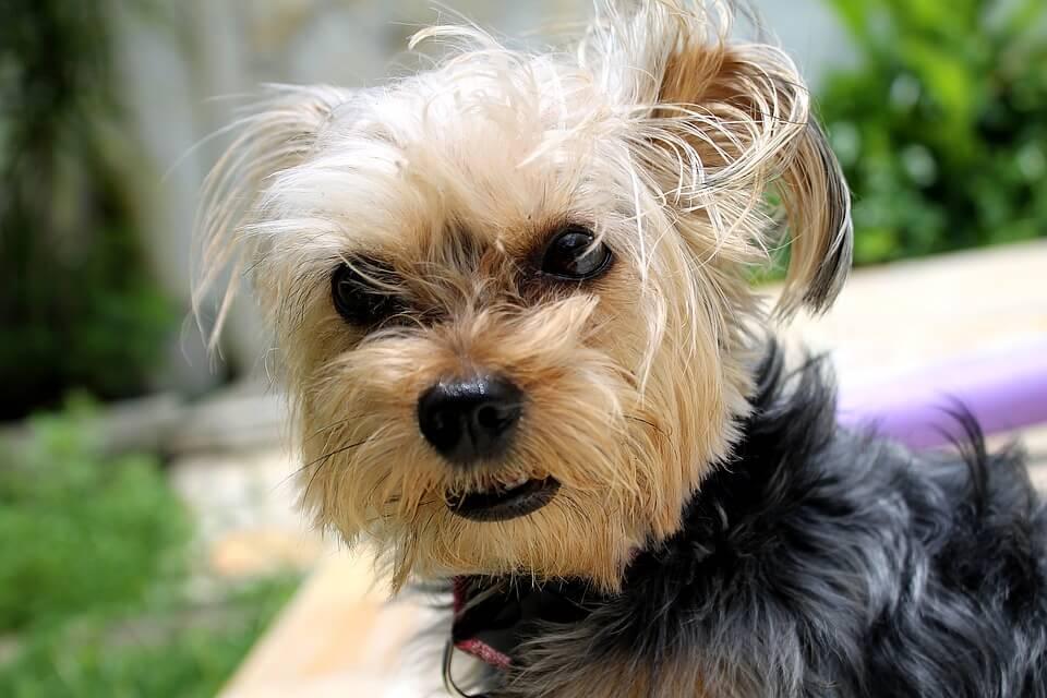 Najpopularniejsze rasy psów w Polsce - Yorkshire Terrier