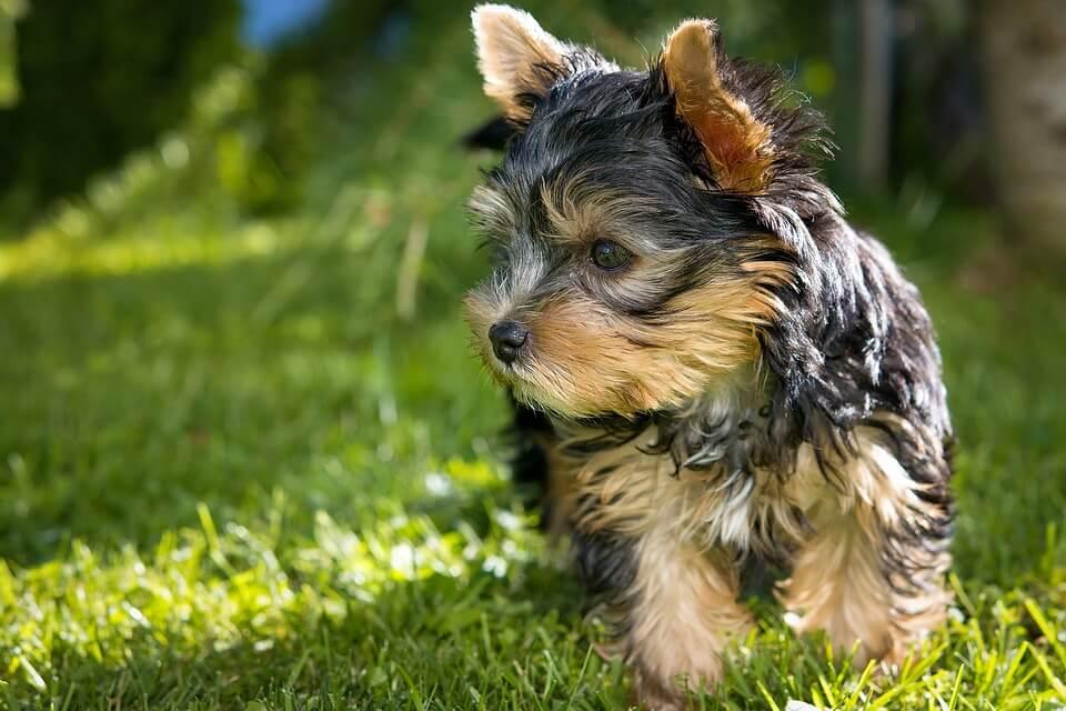 najmniejsze rasy psów - yorkshire terrier