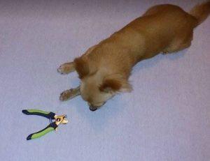 Jak przygotować psa do obcinania pazurów?