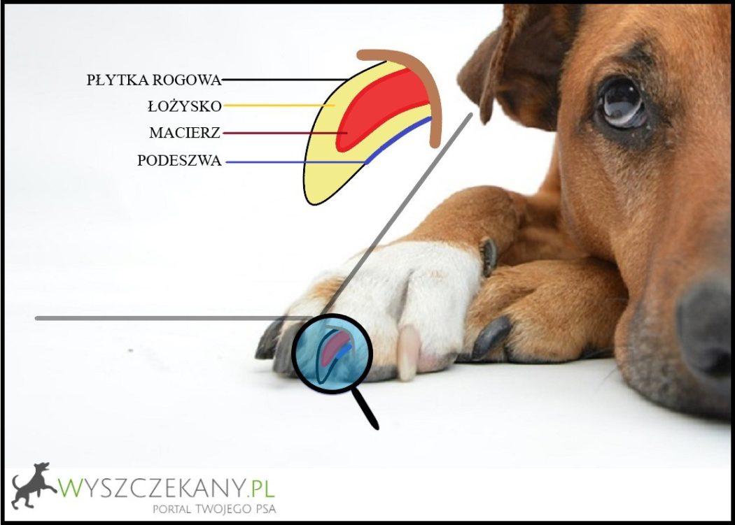 budowa psiego pazura
