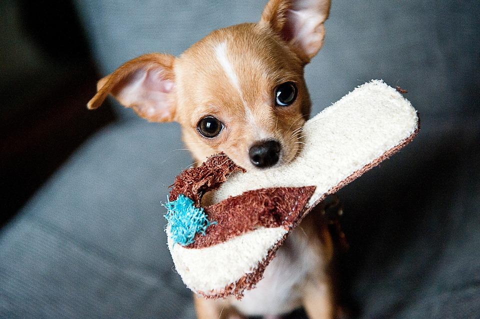 Chihuahua- jak się opiekować?