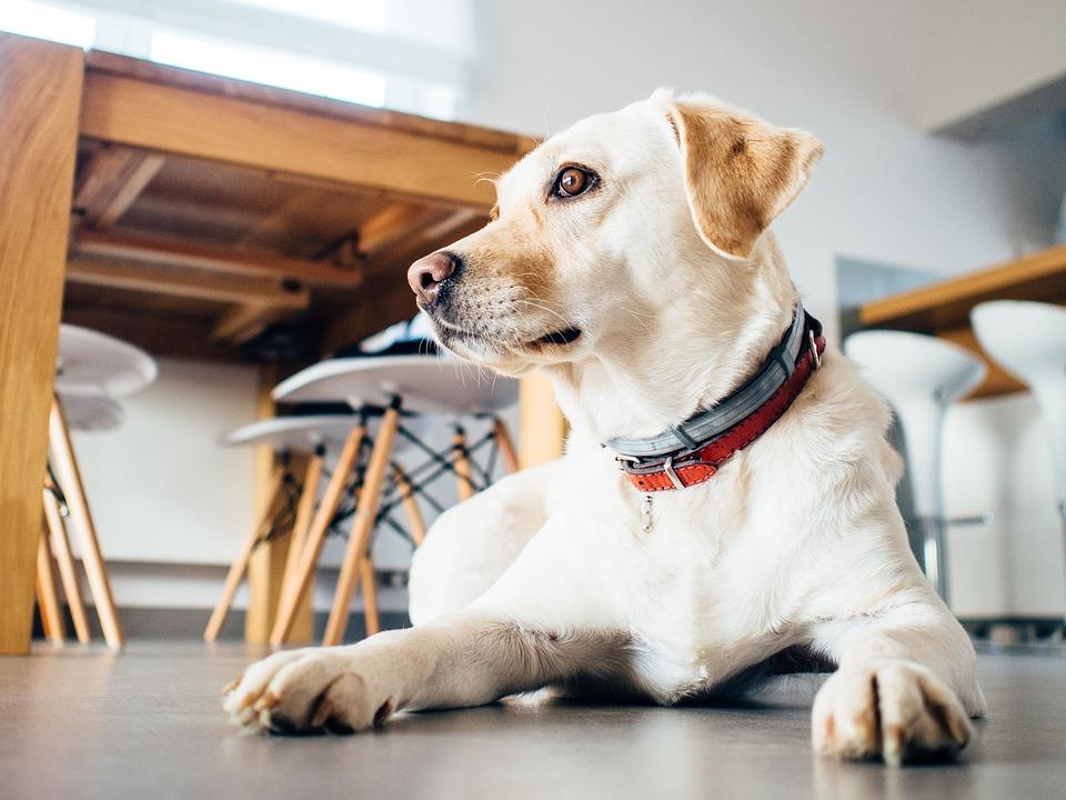 pies żebrze przy stole