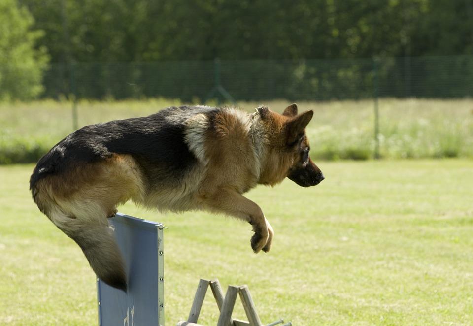 szkolenie owczarka niemieckiego