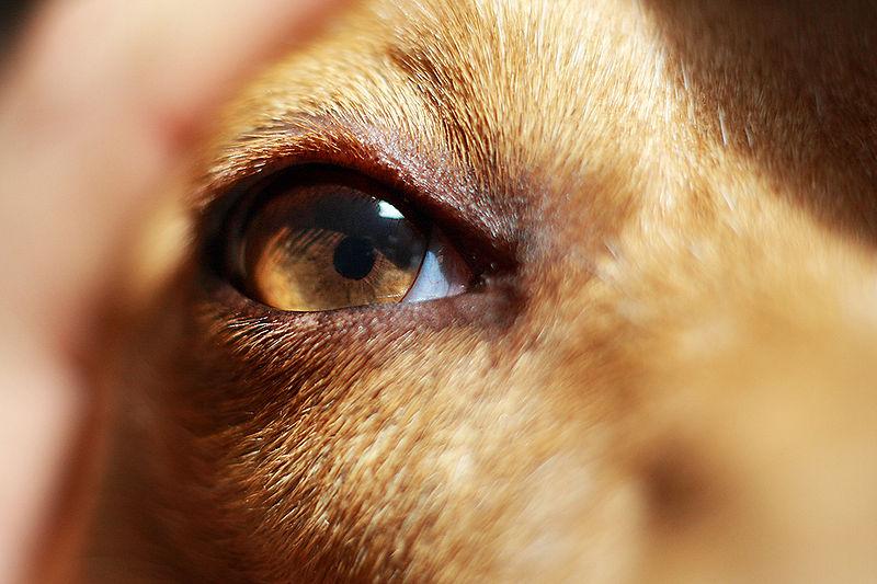 czyszczenie oczu u psa