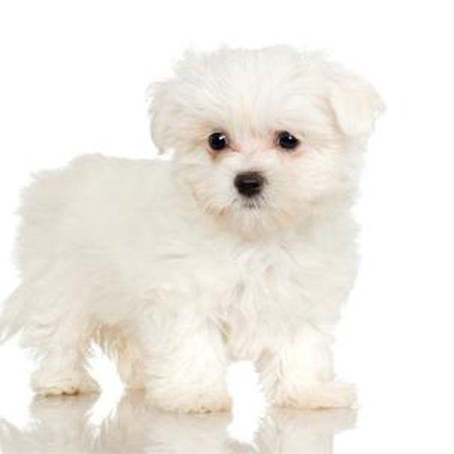 jaki pies dla alergika - maltańczyk