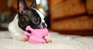 Boston Terrier – charakterystyka i opis rasy