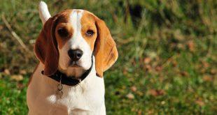 Beagle – charakterystyka i opis rasy