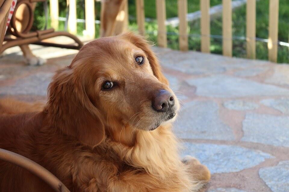 Golden Retriever - pies dla dzieci