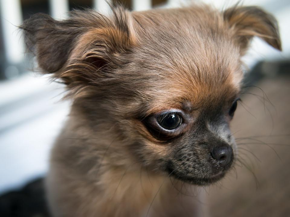 łzawienie oczu u psa