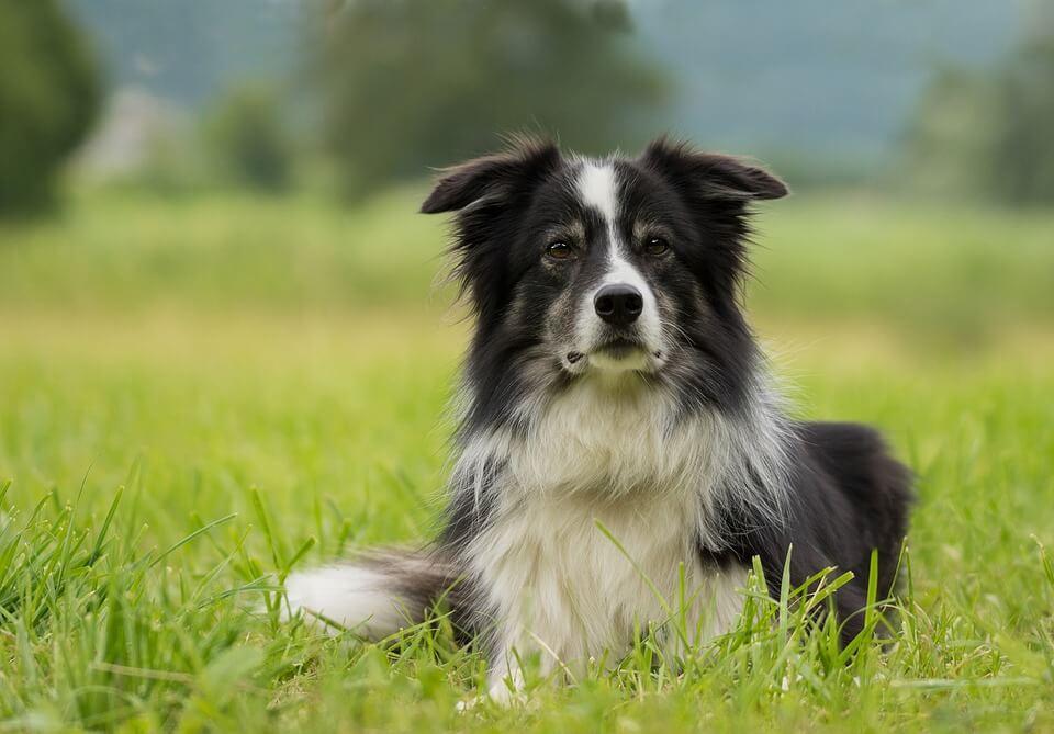 Border Collie - pies dla dzieci