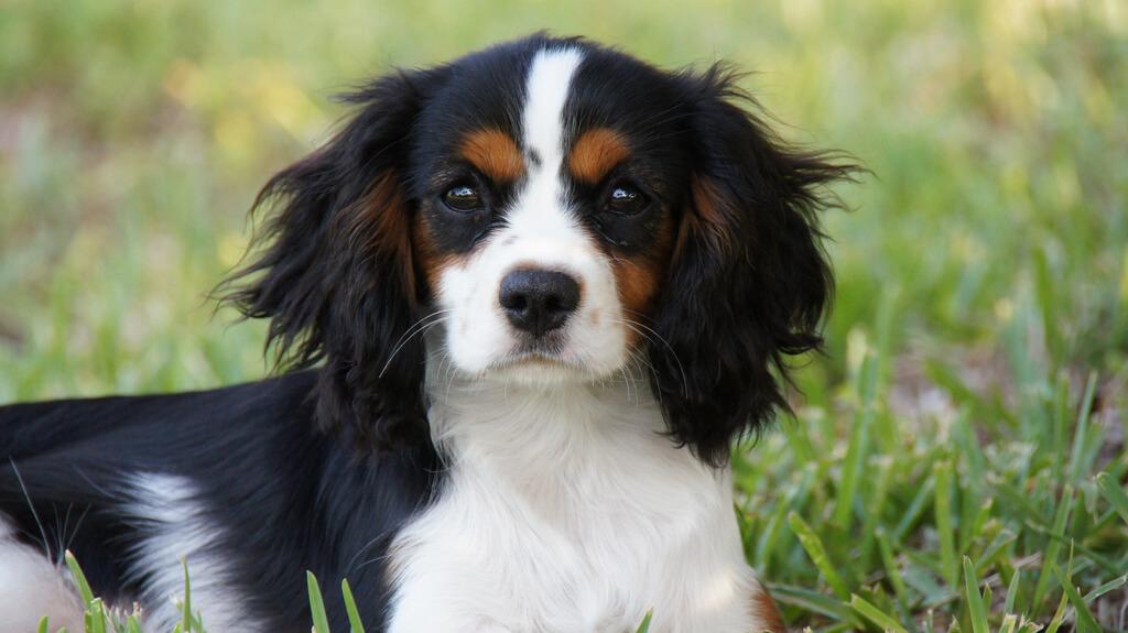 Cavalier King - pies dla dzieci