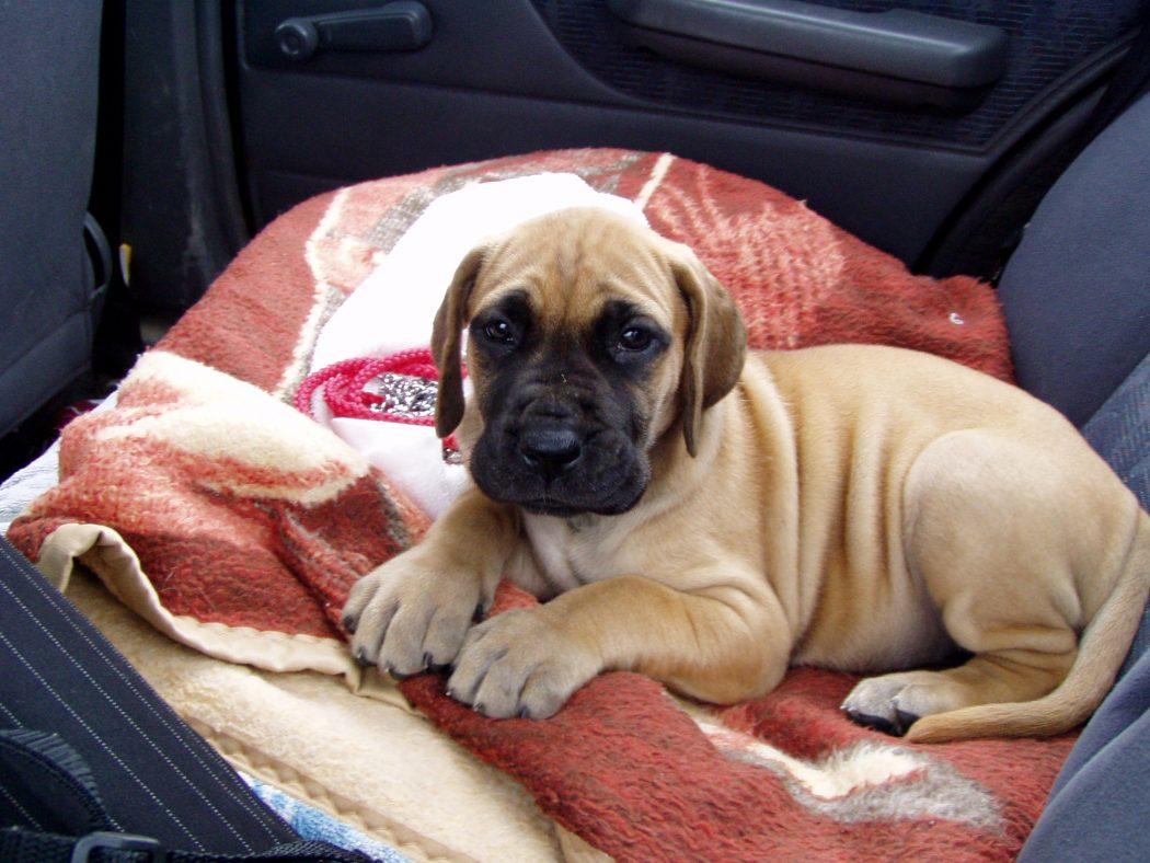Dog niemiecki - wychowanie