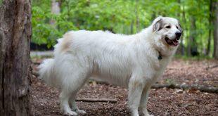 Pirenejski pies górski – charakterystyka i opis rasy