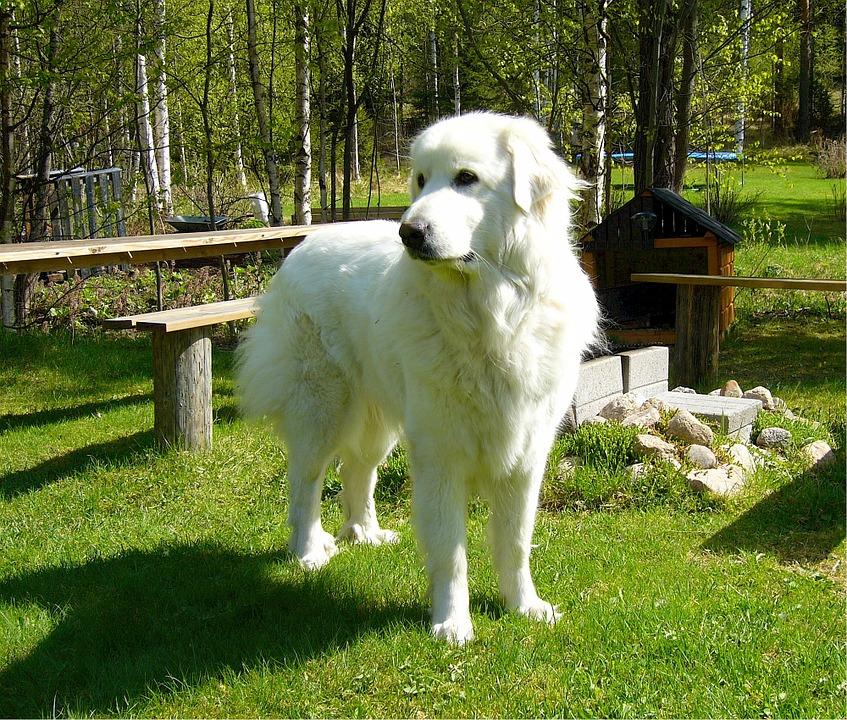 Pirenejski pies górski - żywienie