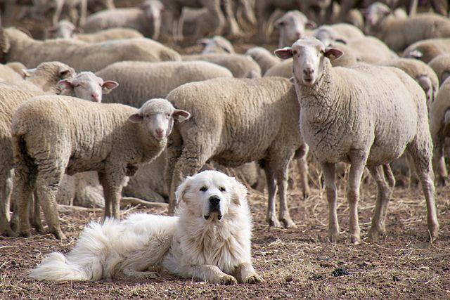 Pirenejski pies górski - opieka