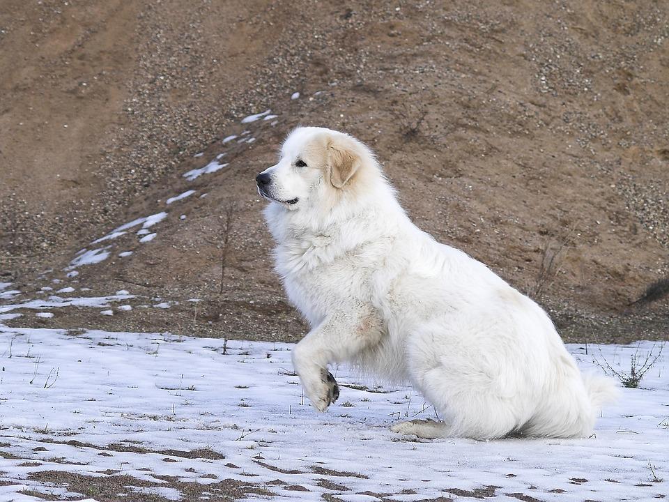Pirenejski pies górski - wychowanie