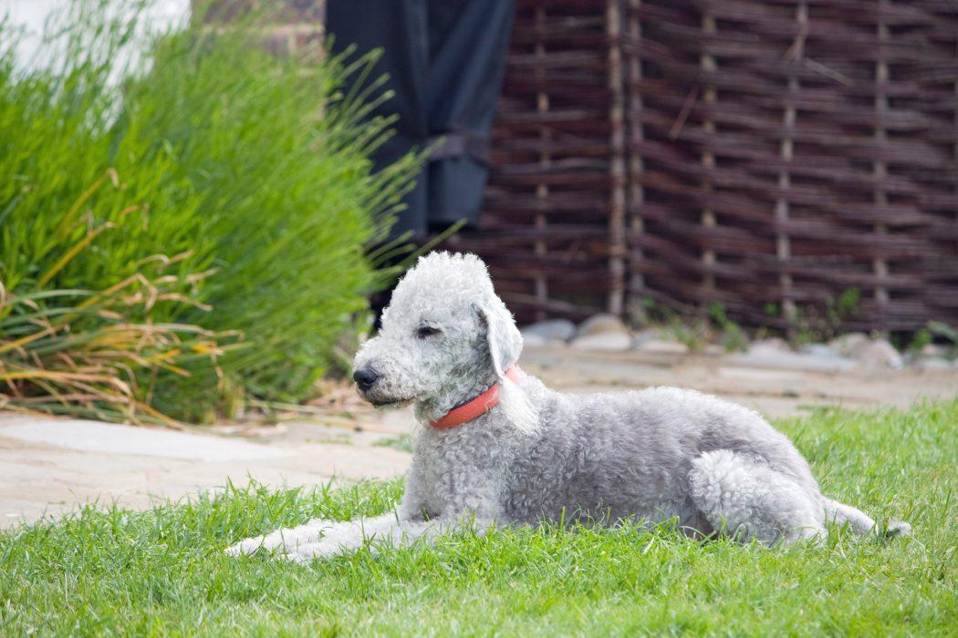 jaki pies dla alergika - bedlington terier