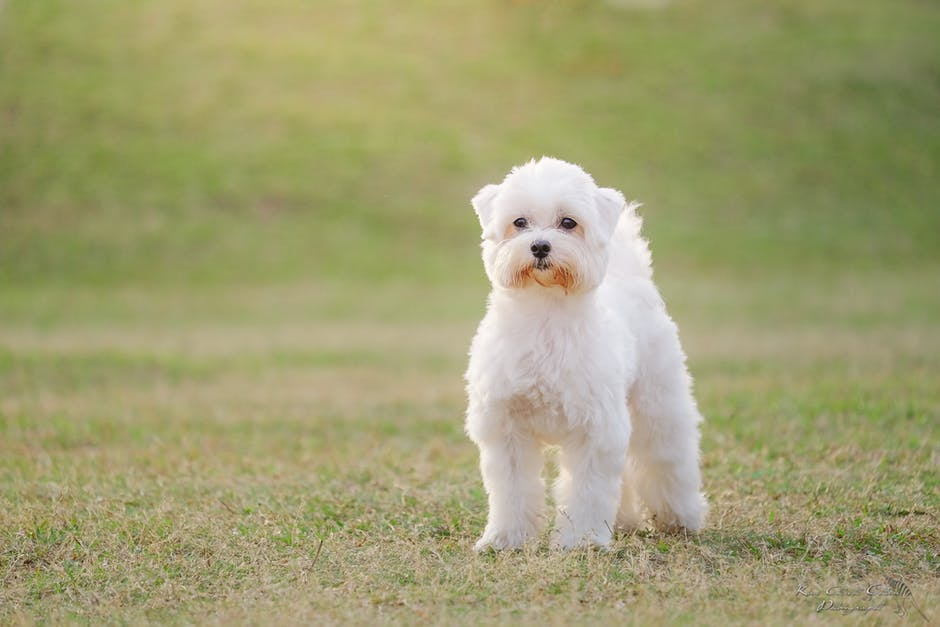 jaki pies dla alergika bichon frise