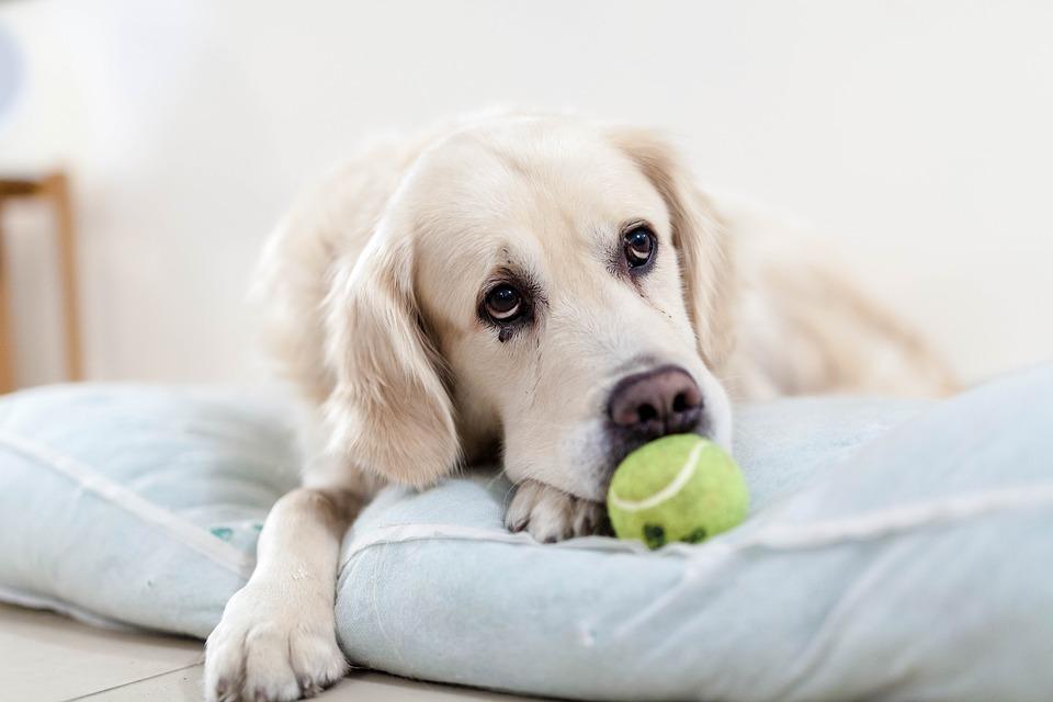golden retriever opieka - jak dbać