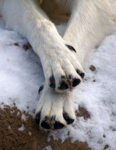 pielęgnacja psich łap zimą