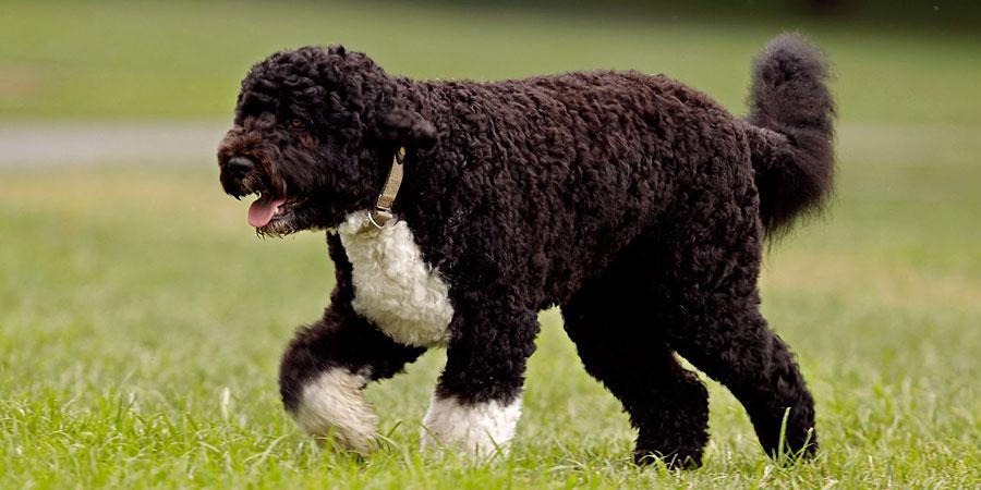 jaki pies dla alergika - portugalski pies dowodny