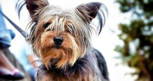 Yorkshire Terrier (York) – charakterystyka i opis rasy