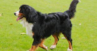 Berneński pies pasterski – charakterystyka i opis rasy