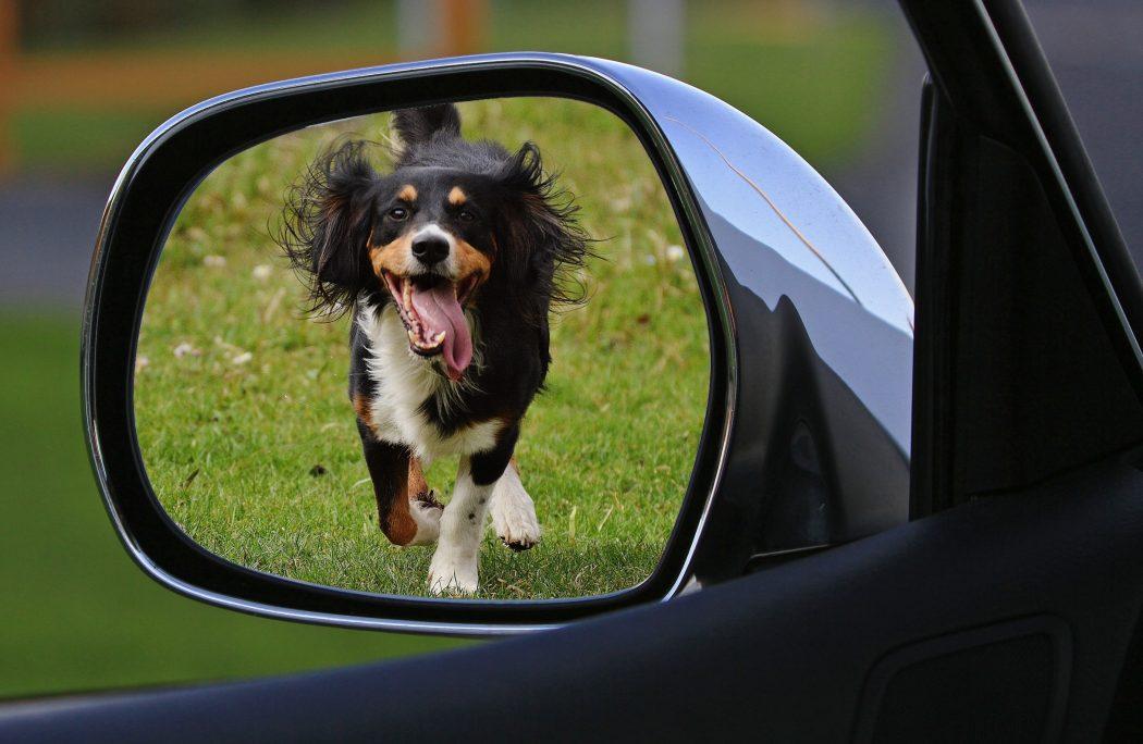jak oduczyć psa biegania za samochodami
