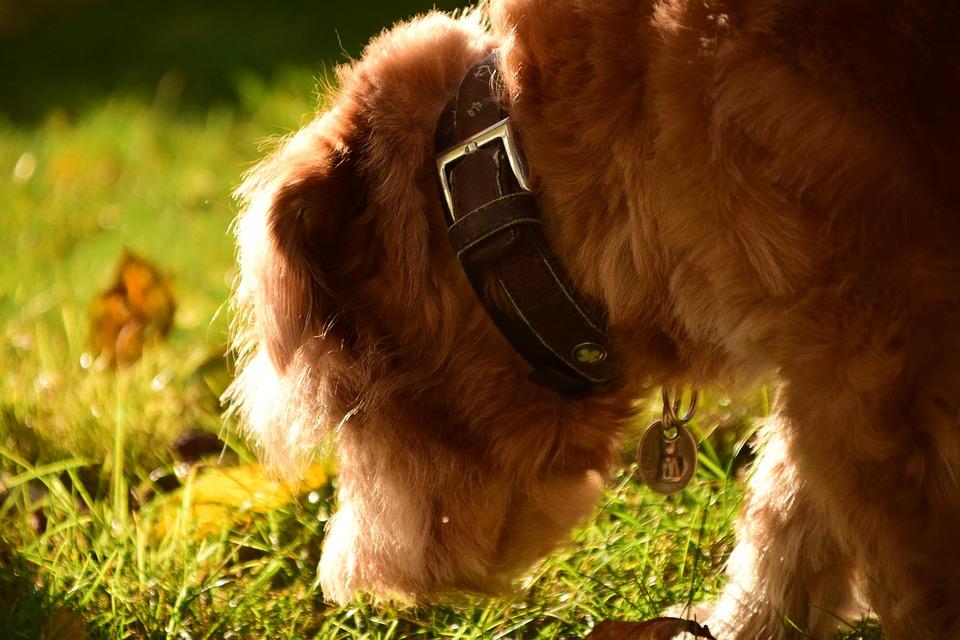 koprofagia u psa